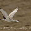 1 Sand Hill Crane in flight