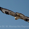 Rough-legged Hawk 1617