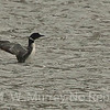 Common Loon on Dailey Lake