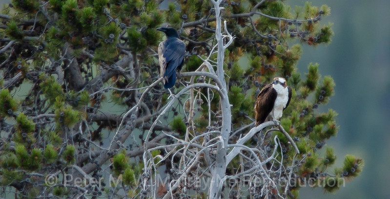 Raven and Osprey