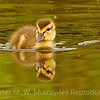 Mallard chick explore a big...little...pond.