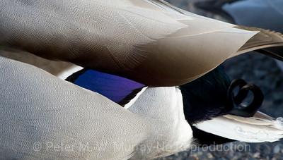 Mallard Duck wing pattern