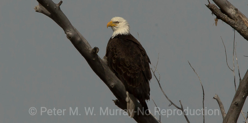 Bald Eagle on overcast day along the Yellowstone River.