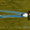 1-Ring-Neck-Duck-pair