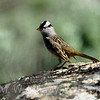 Zonotrichia leucophrys: White Crowned Sparrow