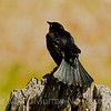Here I am gals....I am the most handsome bird on this stump...get that.  See my pretty tail.