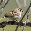 2 Swamp Sparrow