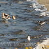 Avocets, Franklin and Ring-billed Gull
