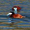 Rudy-Ducks--Black-Tail-Lakes-51610