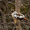 Red Tailed Hawk: with Leucism or Leukism