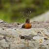 Robin splashes in natural tub