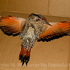 Northern Flicker: