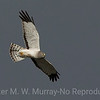 Northern Harrier from below.