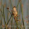 A Marsh Wren