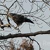 Rough-legged Hawk on perch