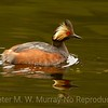 Eared Grebe on glassy calm water.