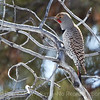 Cjolaptes auratus: Northern Flicker