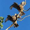 Falco sparverius: American Kestrel