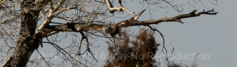 Rough-legged Hawk takes flight.