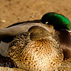 Mallard Pair in  napping mode.
