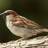 Passer domesticus: House Sparrow