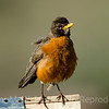 American Robin fluffed up.