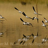 Avocets wheeling over the lake.