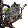 Great Horned Owl adult.