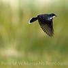 Eastern Kingbird flies