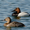 Canvasback pair on calm water.