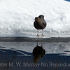 American Dipper on ice.