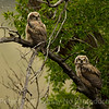 2 of the 3 owl chicks out on a limb.