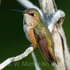Rufous Humingbird Female