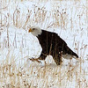 1 Bald Eagle walks to carcass