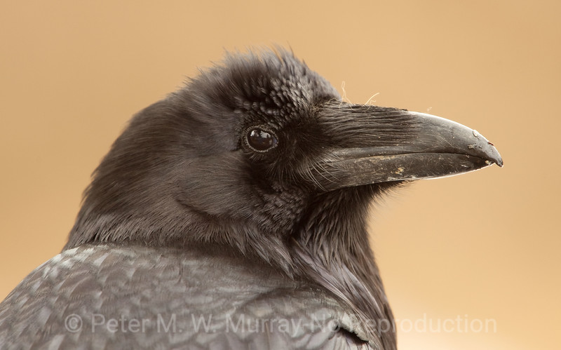 Raven Portrait at Sheepeater Cliffs