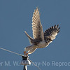 3 Peregrine Falcon flies