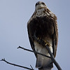 Buteo lagopus: Rough-Legged Hawk