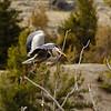 Great Blue Heron lands  near Yellowstone River.