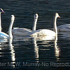 Tundra Swans on Yellowstone River