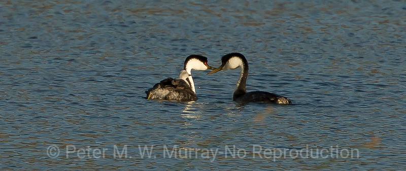 Western Grebe  with one chick