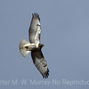 Buteo swainsoni: Swainsons's Hawk
