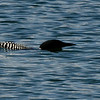 Common Loon in dive mode.