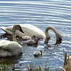 Trumpeter Swan Family, Moms stirs up goodies