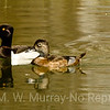 Here is the male and female Ring-necked Duck.
