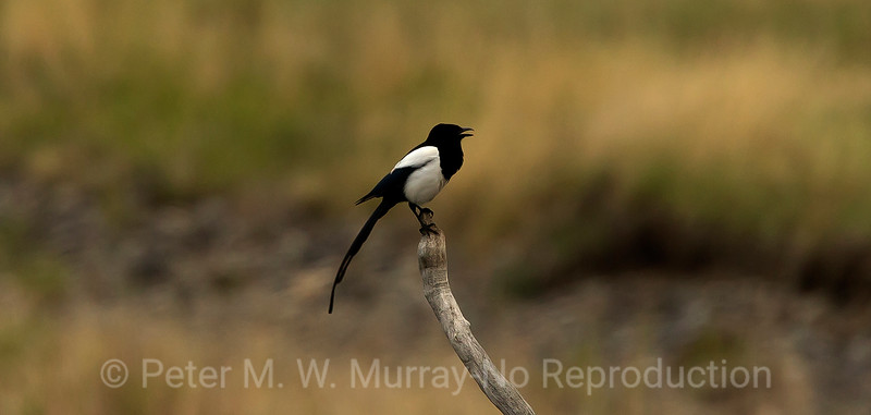 Black-billed Magpie calling.