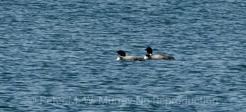 Common Loons in deep water.