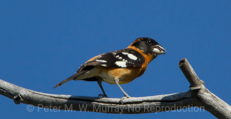 Black Headed Grosbeak hybrid.