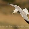 Calafornia Gull