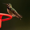 Calliope Hummingbird May 25 2013