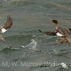 Mergansers taking off